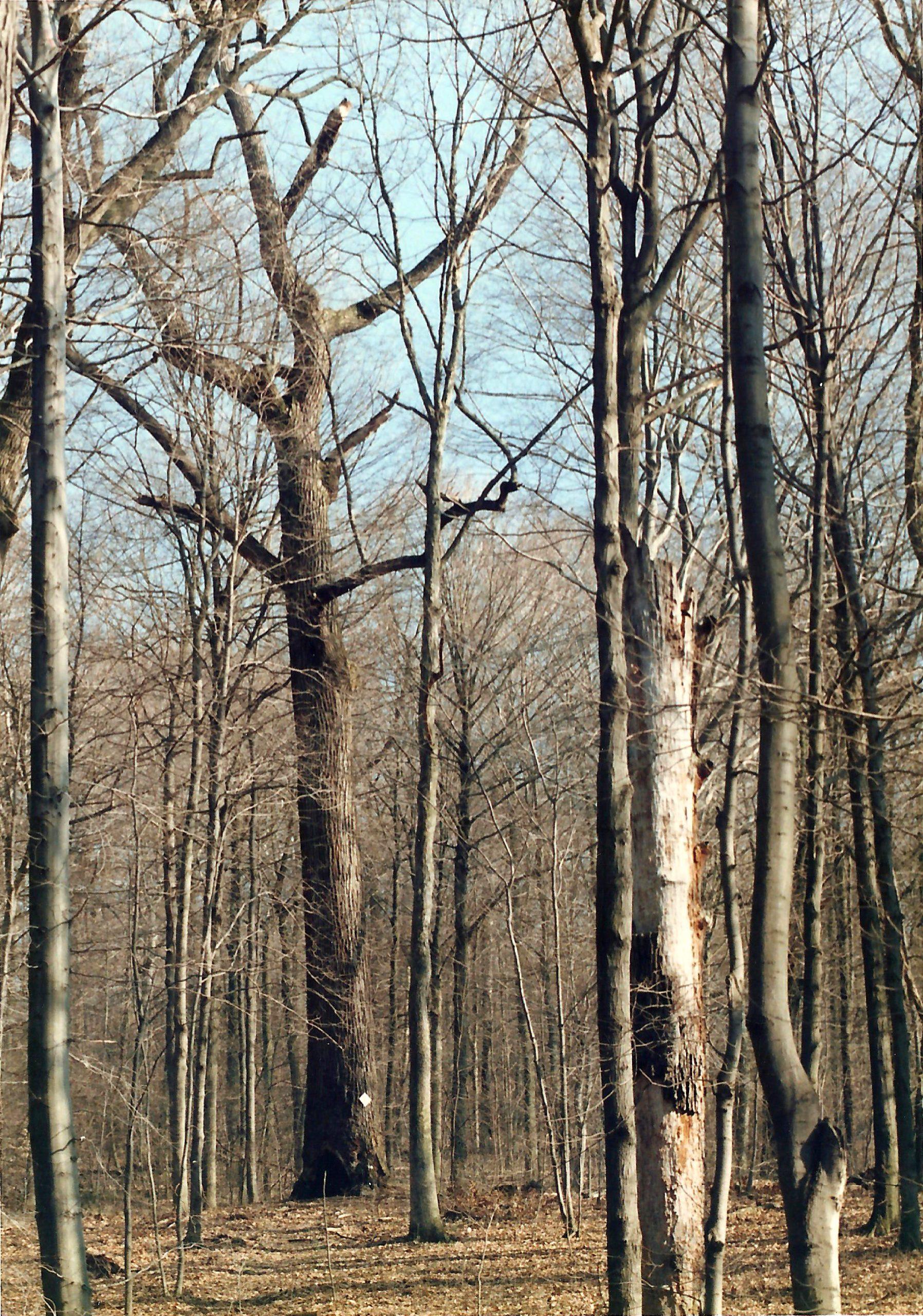 Camp Tuscazoar's oldest tree in 1991