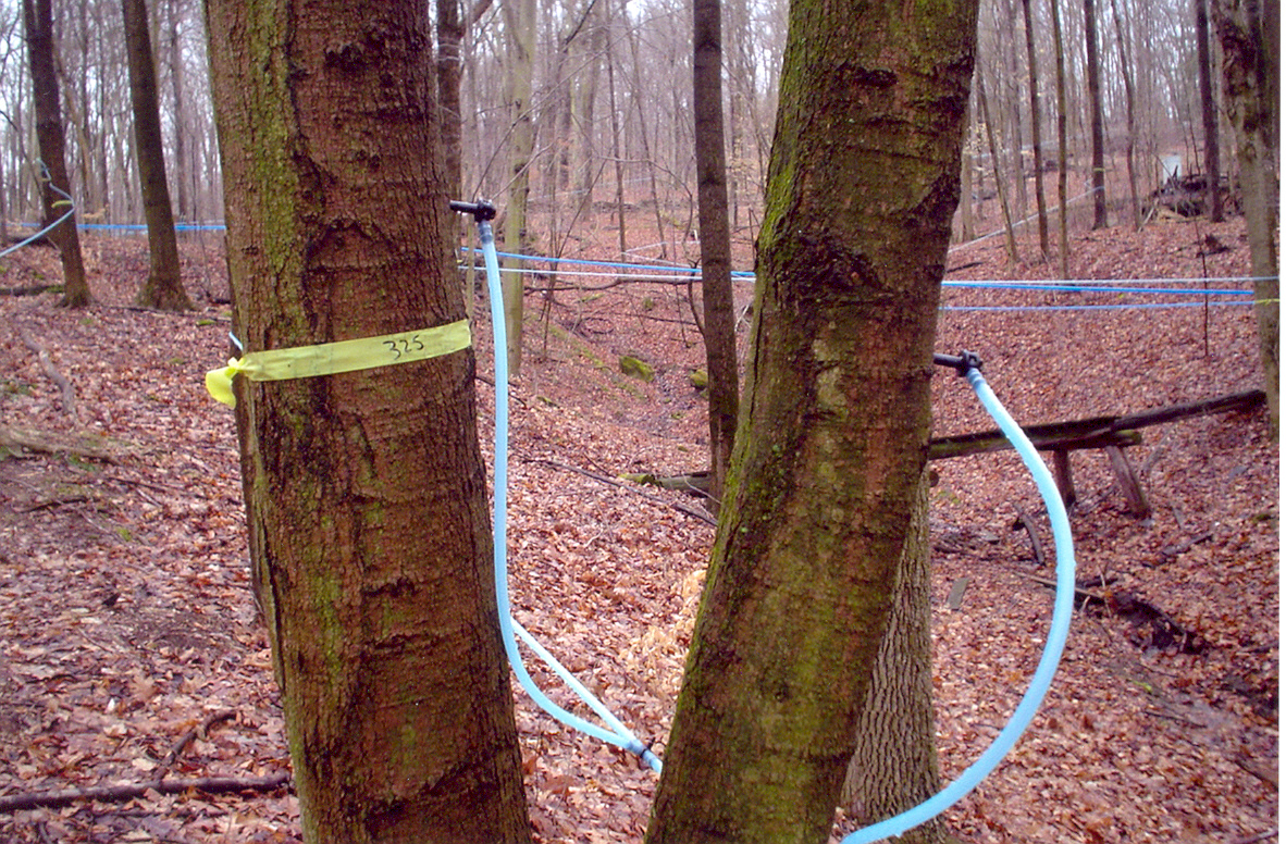 Sugar bush taps and lines in 2004